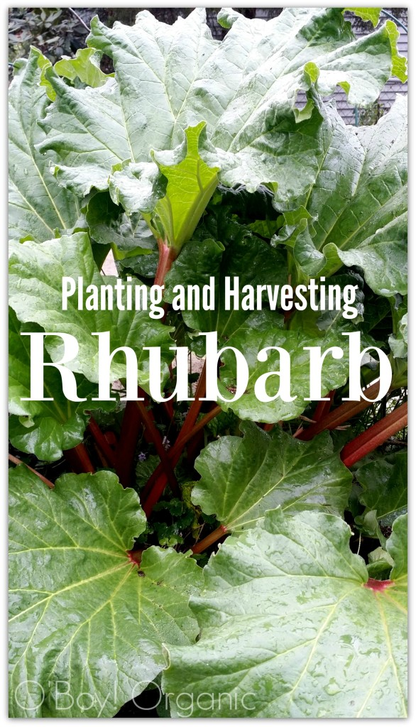 Planting and Harvesting Rhubarb